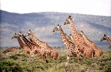 africa-animals-giraffes-385348