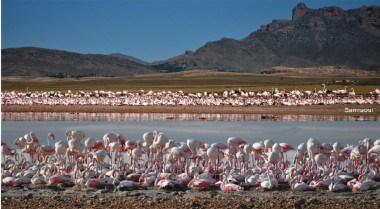 ews-of-the-Greater-Flamingo-colony-at-Ezzemoul_380x380