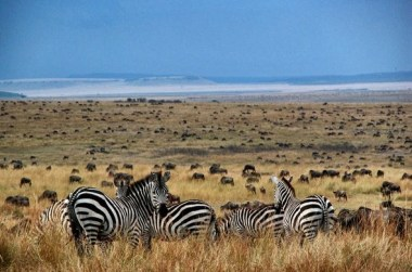 Great migration at Mara